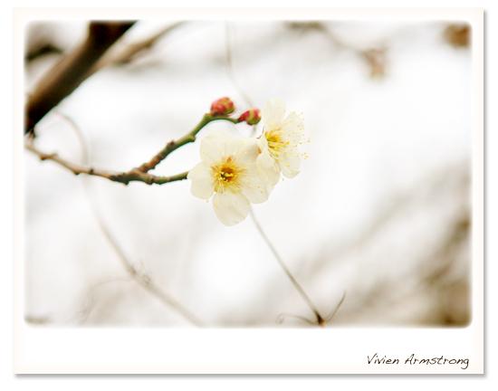 見頃を迎えつつある梅の花
