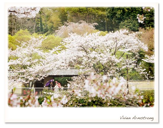 東京都内とは思えない自然と桜、神田川にて