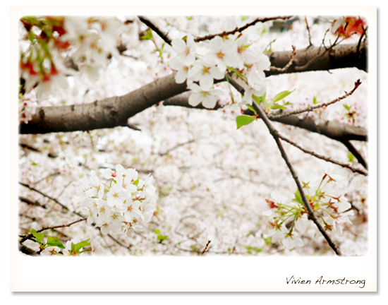 2013年の桜、ソメイヨシノ