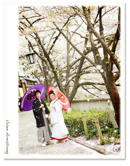 桜吹雪の舞う中、和装で前撮り