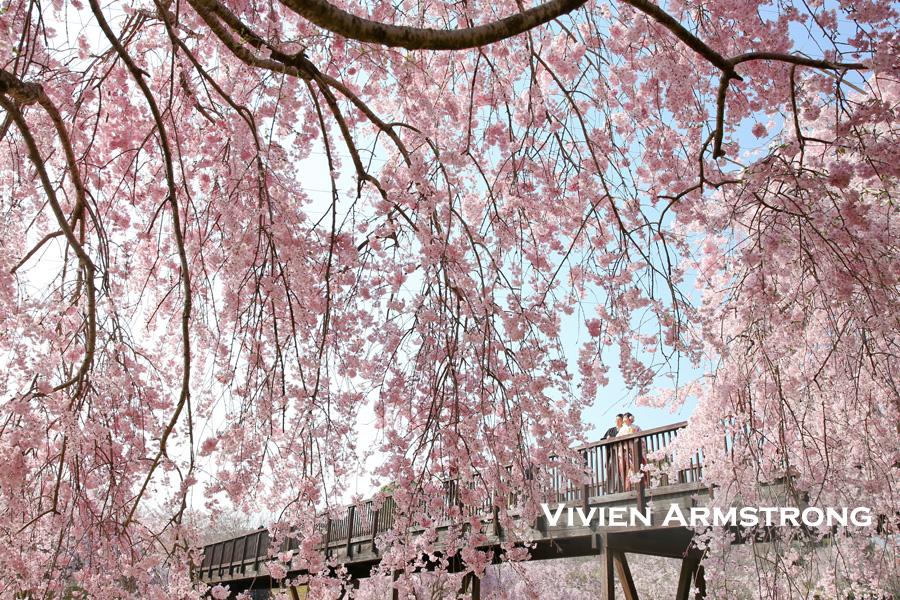 しだれ桜とともに前撮り撮影