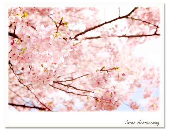 満開に咲き誇る河津桜はフォトウェディングにもぴったり