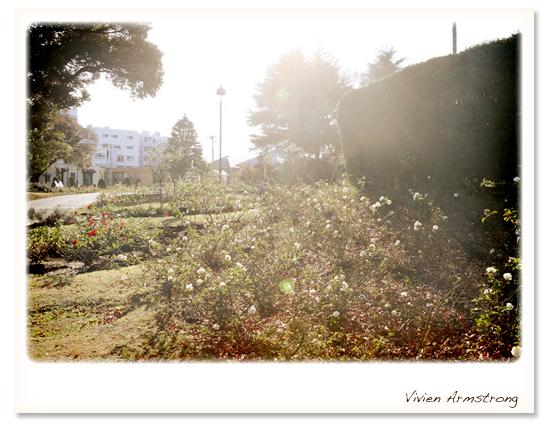 イギリス館のすぐ裏、秋咲きの薔薇