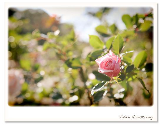 秋咲きの薔薇、ピンク色