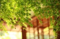 日本庭園の新緑の美しいもみじのイメージカット