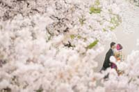 満開の優しい桜の下で寄り添い合う幸せな新郎新婦の桜ロケーション和装前撮り