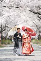 光をうけて輝く優しい桜の下で色打掛を着て和傘をさしての桜ロケーション和装前撮りフォトウェディング