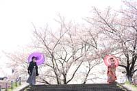 満開の桜並木の下で色打掛を着て和傘をさしての和装前撮り
