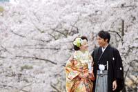 満開の桜とともに寄り添い合う新郎新婦の桜ロケーション和装前撮り