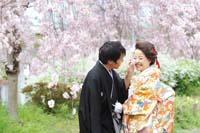 柔らかいしだれ桜の下で幸せに寄り添い合う色打掛の新郎新婦の桜ロケーション和装前撮りフォトウェディング