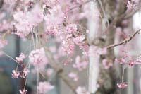 桜ロケーションで和装前撮り