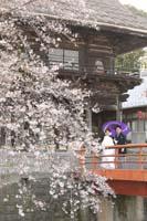 しだれ桜と和風建築と赤い橋のある庭園で白打掛を着て和傘をさしての桜ロケーション和装前撮り