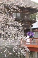 お寺をバックに白無垢で和傘をさしての桜ロケーション前撮りフォトウェディング