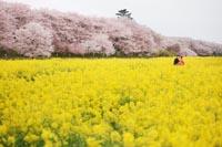 満開の桜並木と一面の菜の花畑の中でロマンティックな和装の桜ロケーションフォトウェディング