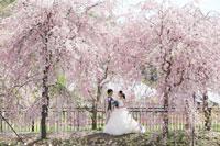 桜並木でウェディングドレスの桜ロケーションフォト