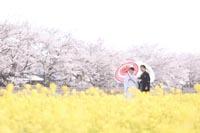 桜と菜の花の和装フォトウェディング