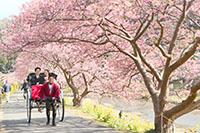 満開の河津桜を駆け抜けるふたりが乗った人力車