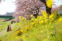 河津桜と菜の花のロケーション撮影