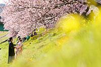 和装で撮影する河津桜と菜の花のロケーションフォト