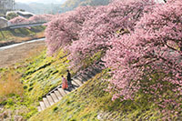 たくさんの河津桜に囲まれてのロケーション撮影は特別な思い出に