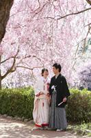 しだれ桜の和装桜ロケーション