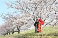 桜並木で特別な桜ロケーションフォト