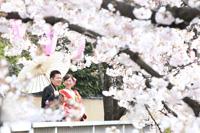 春の和装前撮りは桜ロケーションフォト